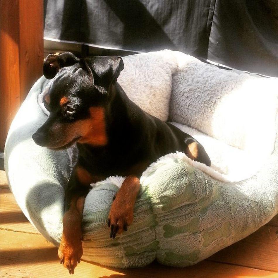 Just Chillin. Miniaturepinscher Dogsofinstagram Rescuedog Sunnyday Ludwig Filter Ludwigfilter Justlounging Dogportrait Samsungs3  S3