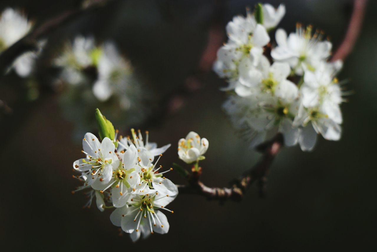 Flower Growth Blossom Close-up Freshness White Color Almond Tree Nature Plant Petal Beauty In Nature Springtime Flower Head Fragility No People Outdoors Pollen Day Tree