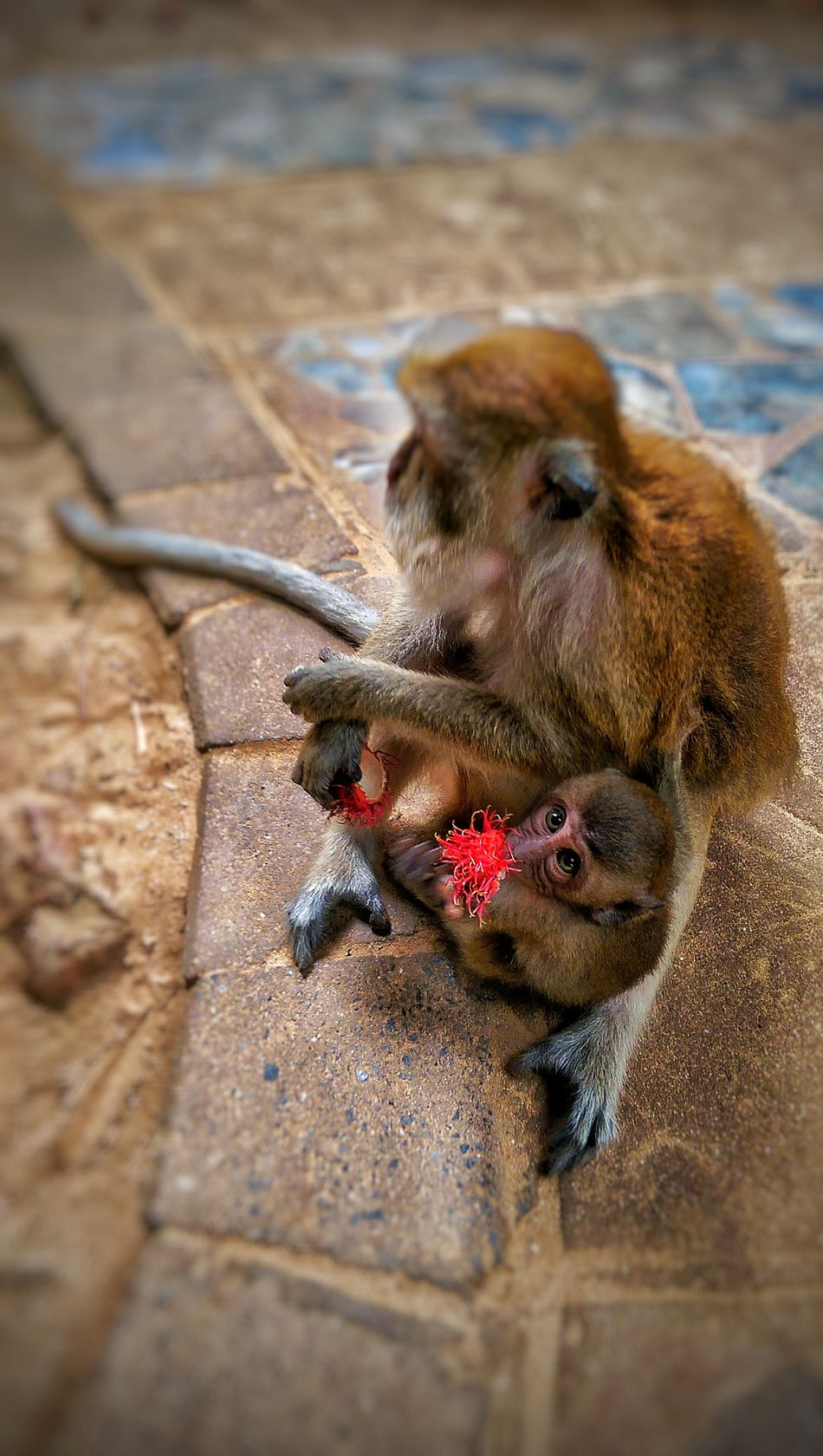 Mother Feeding  Baby Monkey Rambutan Fruit Thaifruits Motherlove Beautiful Animal Wildlife & Nature Thailand Railay Beach WILD MONKEYS Nationalgeographic Natgeowild EyeEm Gallery EyeEm Nature Lover EyeEm Best Shots EyeEm Best Shots - Nature