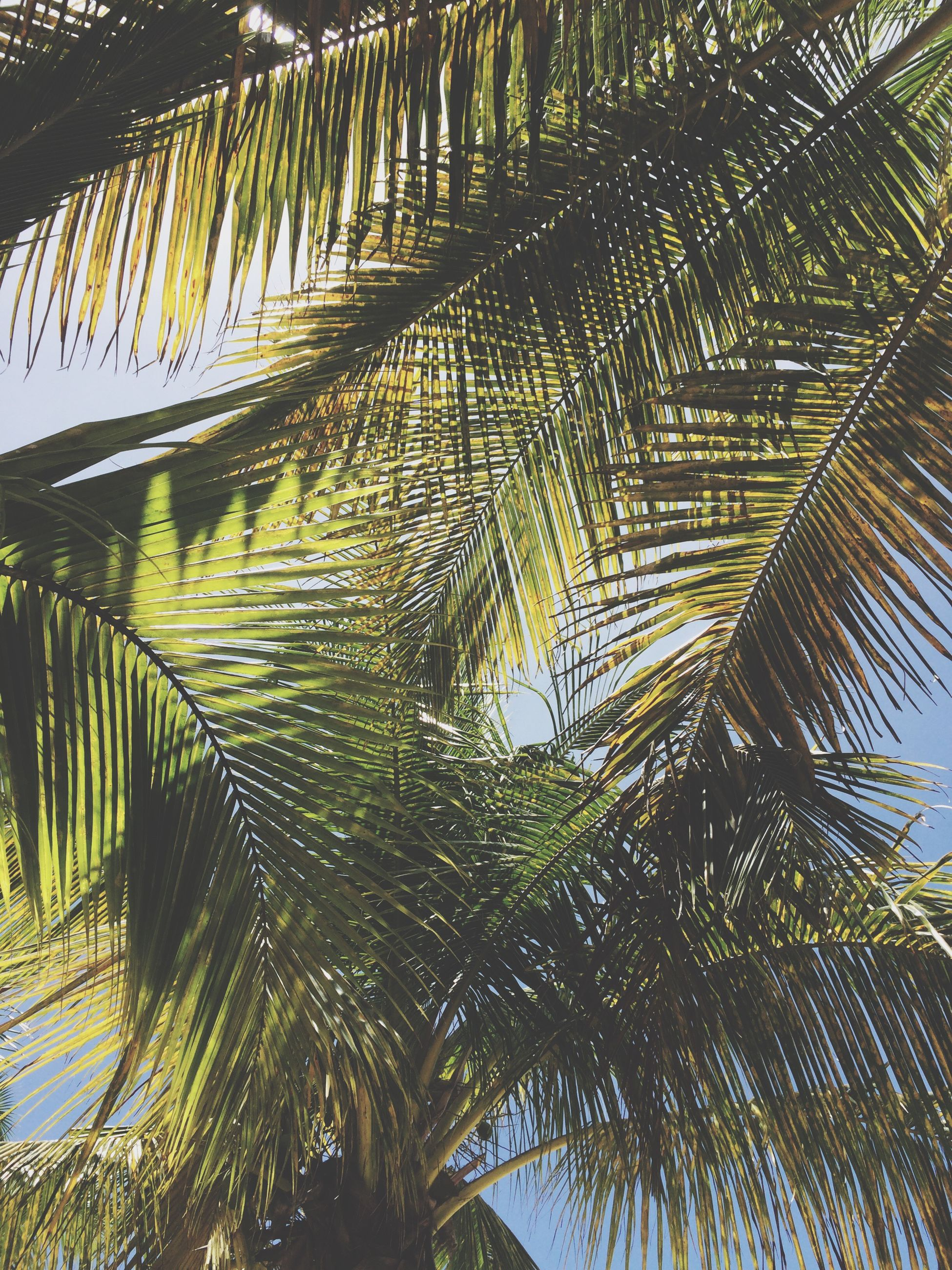 palm tree, tree, low angle view, growth, palm leaf, leaf, nature, tranquility, branch, green color, tree trunk, beauty in nature, tropical tree, tropical climate, day, coconut palm tree, clear sky, sunlight, outdoors, sky