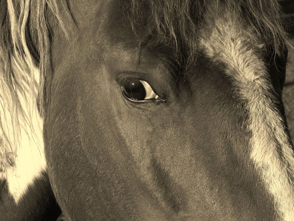 Sepia Tone Sepia Toned Sepia_collection Sepia Photography Sepia Horse Horse Photography  Horse Head Horse Love Ranch Life Montana Horse Eye Portait Of An Animal I Love Horses Outdoor Photography With The Horses  Farm Life Working Animal