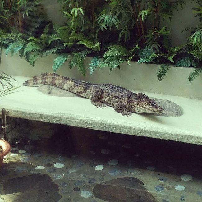 Crocodile Tuenmun Whatareyoudoingthere Ticktock Animal Donteatme