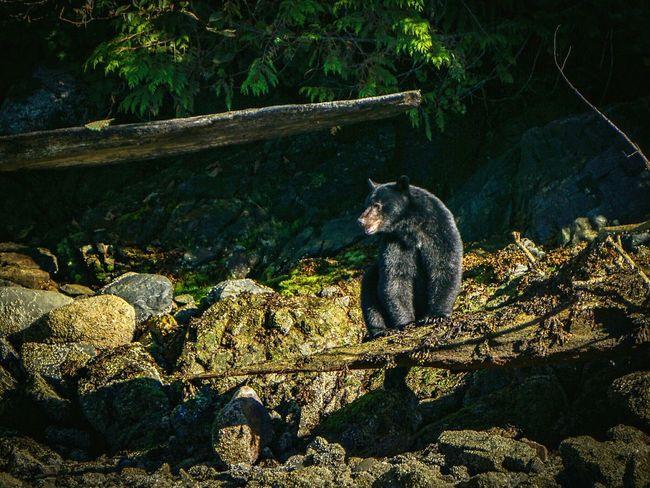 Black Bear Canada Vancouver Island Canada