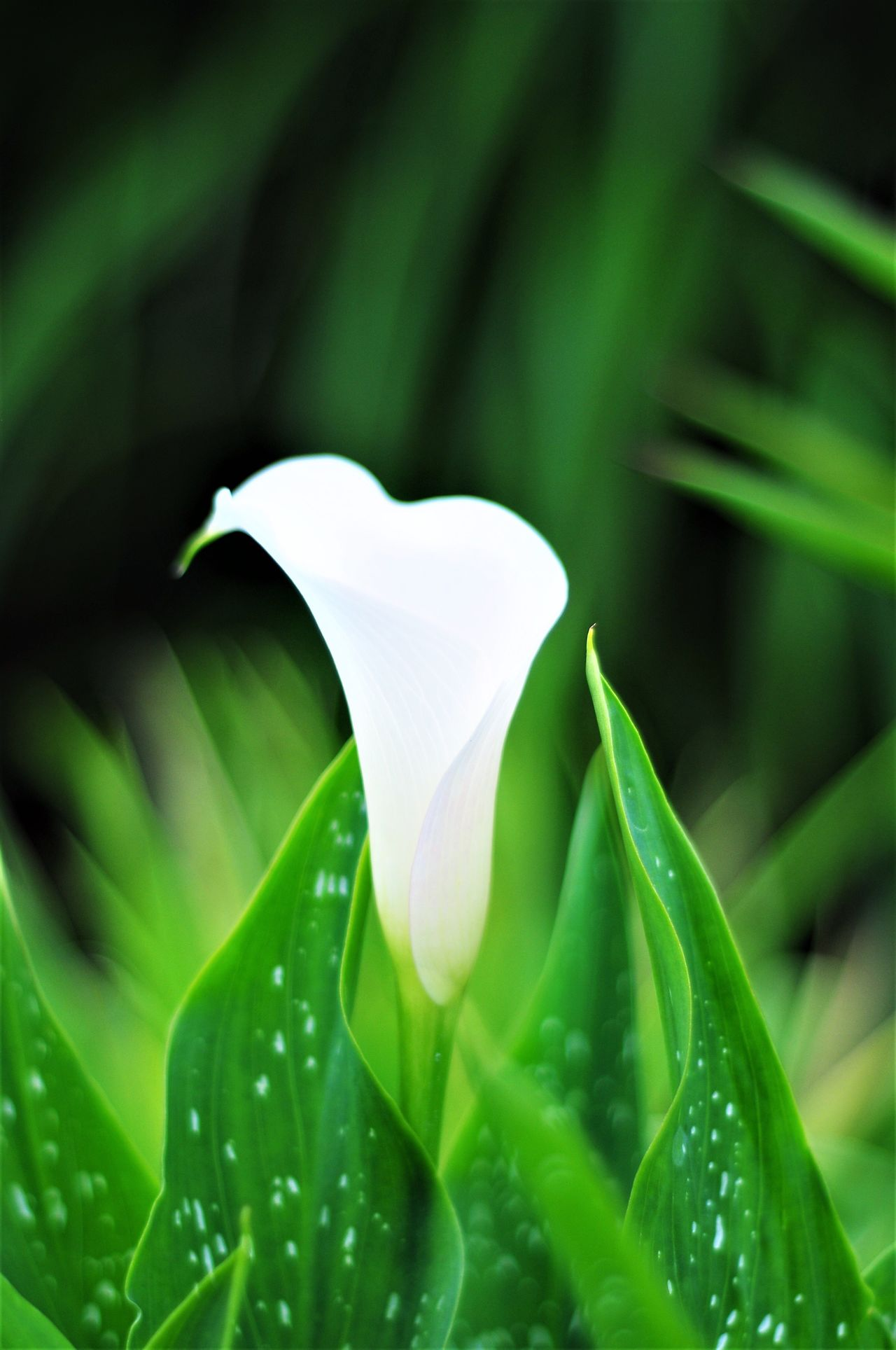 Arum Lily Nature Flower Petal Growth Beauty In Nature Fragility Plant Freshness White Color Close-up Green Color Flower Head Leaf No People Outdoors Colour Image Vertical One Flower Botanical Arum Lily  Calla Lily Blooming Purity Plant Freshness