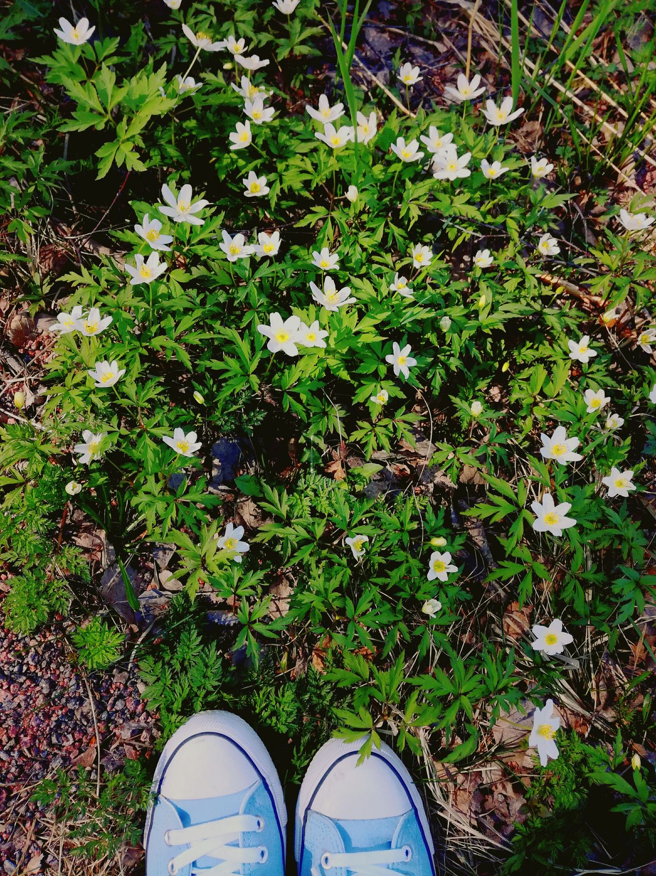 Shoe Low Section Human Leg One Person Standing High Angle View Canvas Shoe Sneakers Anemones Wood Anemone In The Forest Finland Outdoors Flowers Spring Flowers Sunny Day White Flowers Wild Flowers