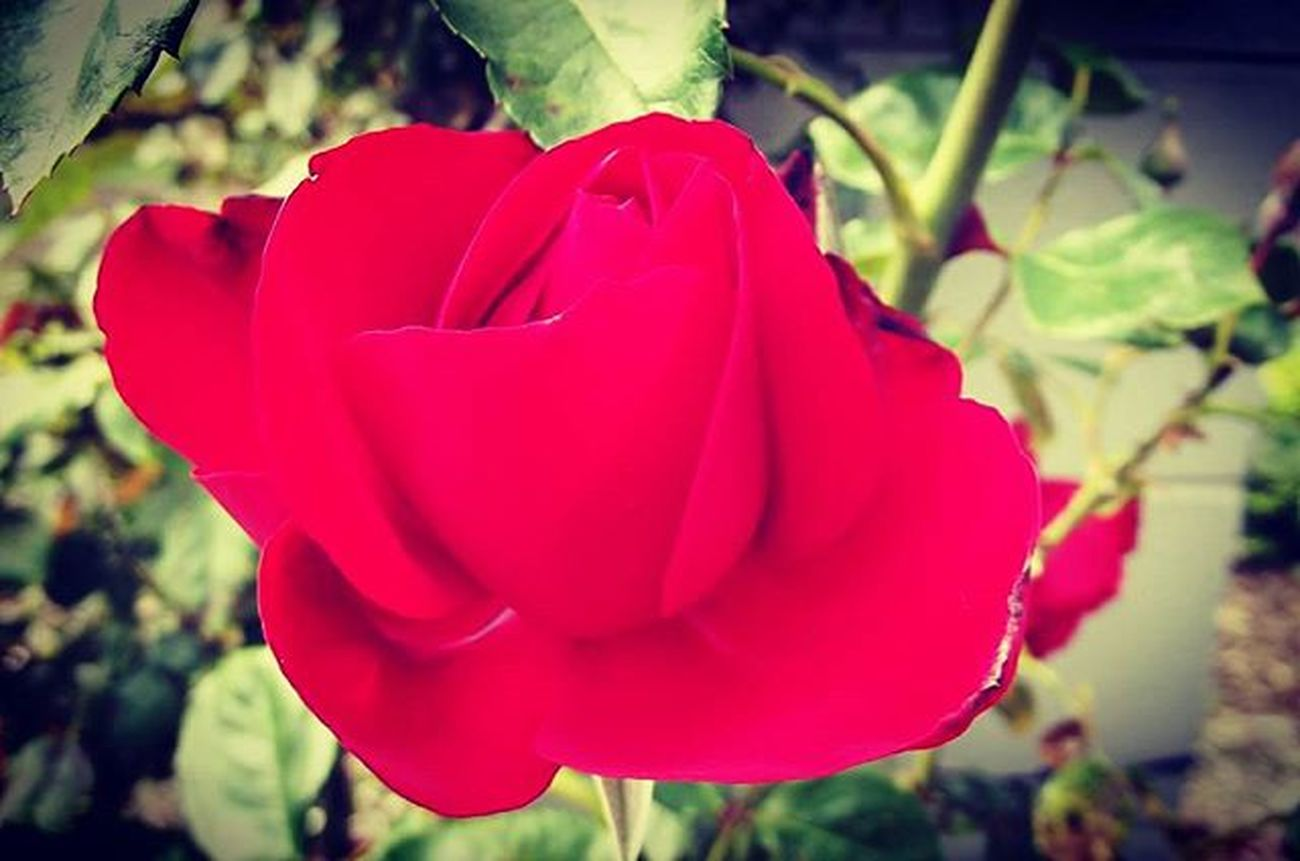 Red Redrose  Rosé Af_floral➡🌼flowers Nature 9Vaga_ColorRed9 Tt_wt_rflora Ptk_flowers_red1 Hello_red