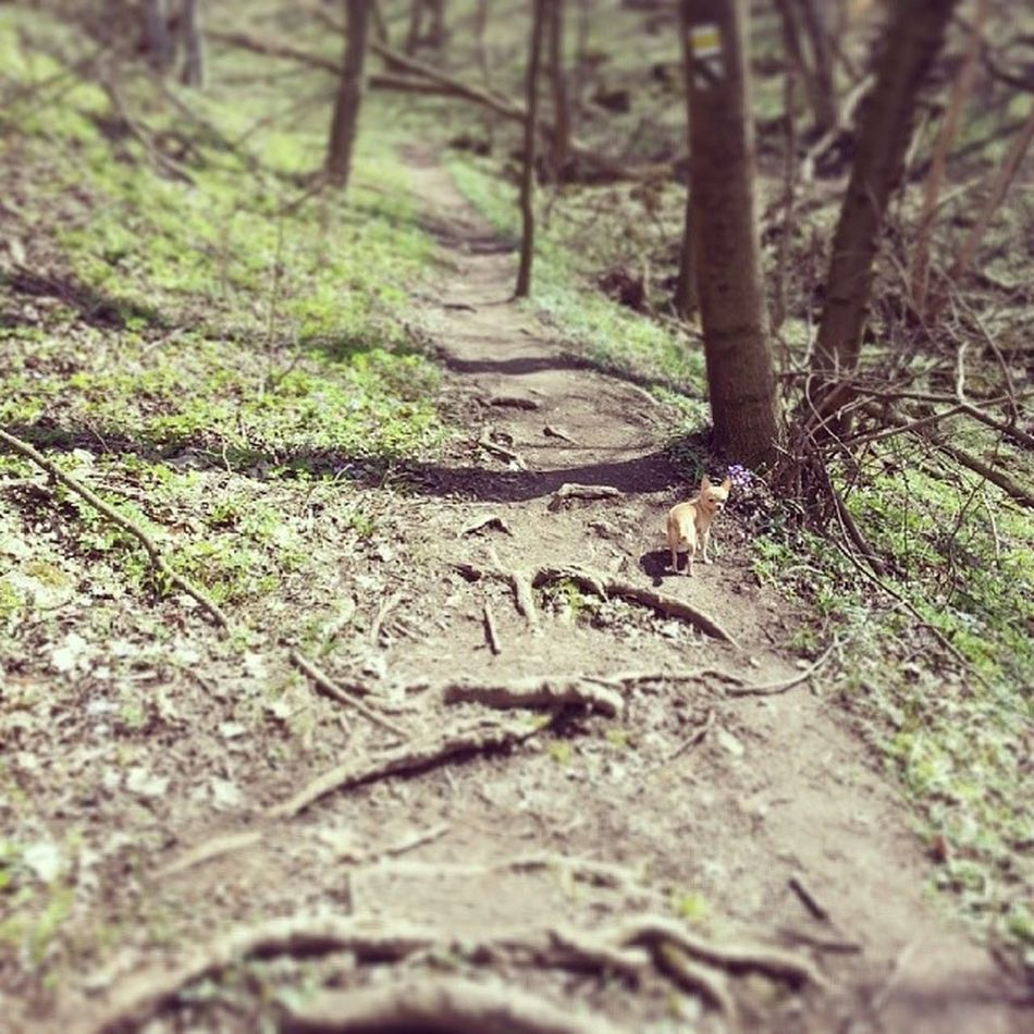 Chihuahua Hunting in the Woods on the way from Sandberg Slovakia. roots trees shadows forrest