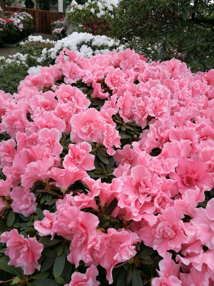 Pink Color Flower Greenhouse Of Azaleas , Riga Millennial Pink
