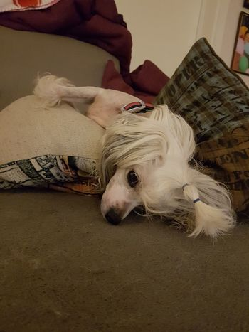 Tired little one Relaxing Enjoying Life Showcase March My Best Pics My Best Shot Dogsofinstagram Lovely Dog Chinese Crested Dog Chinese Crested Animals Animal_collection Dogs_of_instagram Dogs Of EyeEm Lovely Dog Lovelydog 🐶 Animal