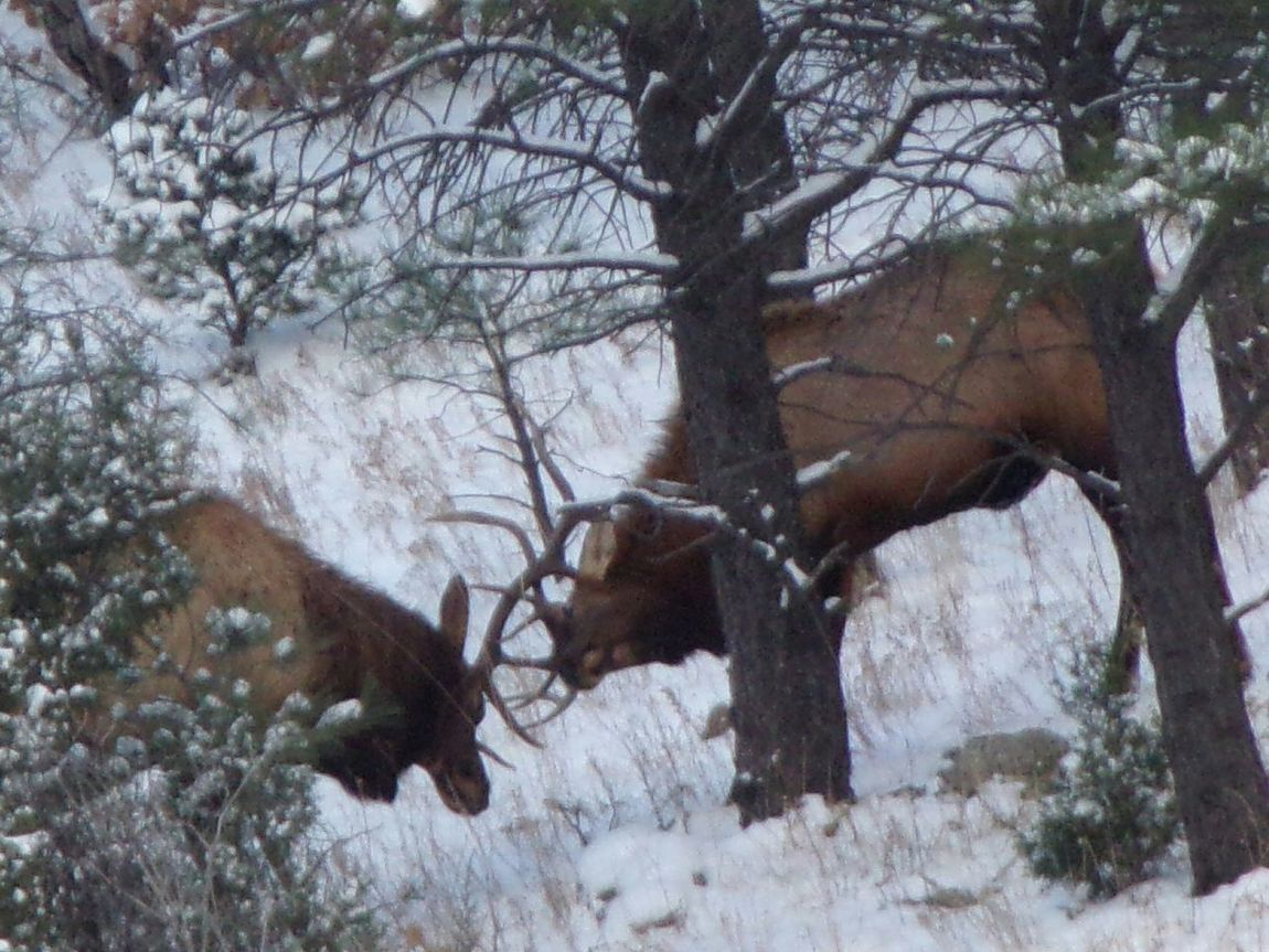 Outdoors Photograpghy  Outdoor Photography Outdoors Outdoors Photography Rut Elks Elkhorn Elk