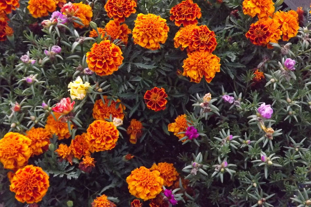 Beauty In Nature Flower Marigoldflower Marigolds Nature Orange Color Petal Yellow
