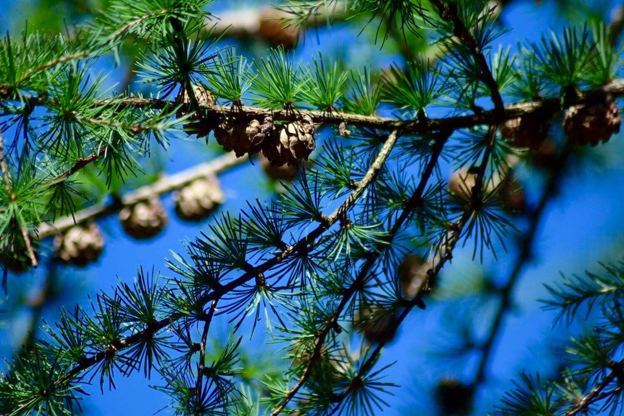 Colour Of Life Pinetrees Pine Cone Very Blue Sky taken in Brecon Beacons