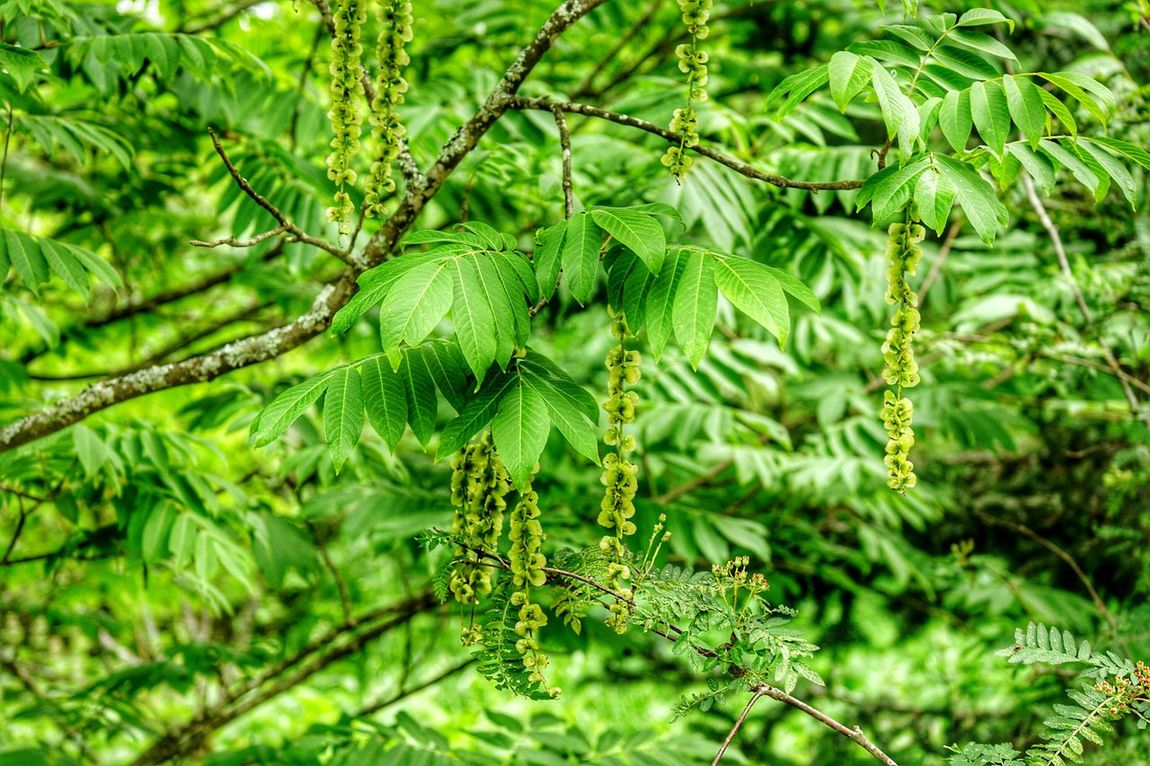Tree Trees Treescollection Trees Are Beautiful Green Green Green!  Green Nature Nature_collection Finnish Summer Tree_captures Green Leaves Green Leaf Beauty In Nature Finland Fresh And Beautiful
