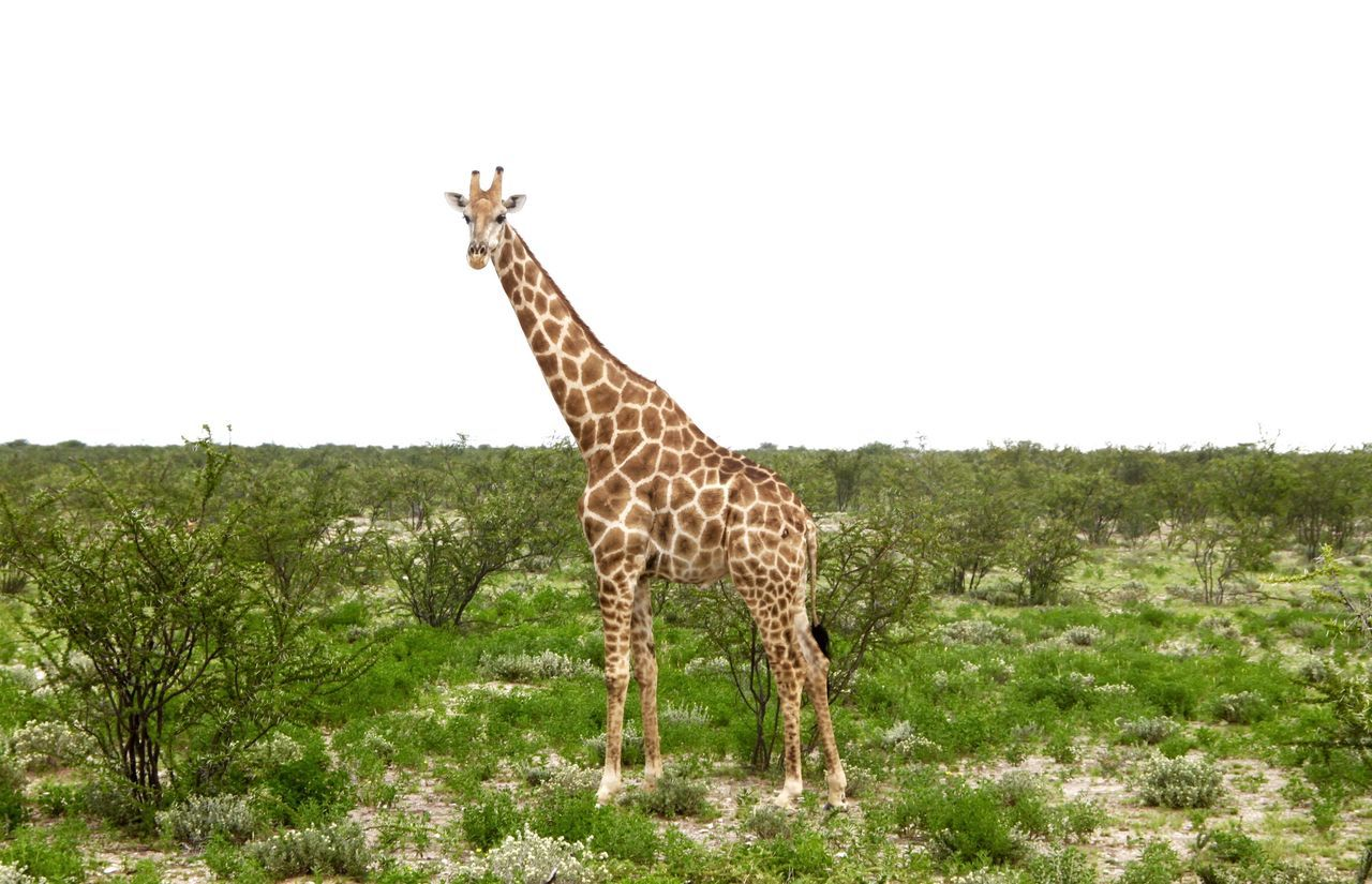 Beautiful stock photos of giraffe, , Animal Themes, Animals In The Wild, Arid Climate