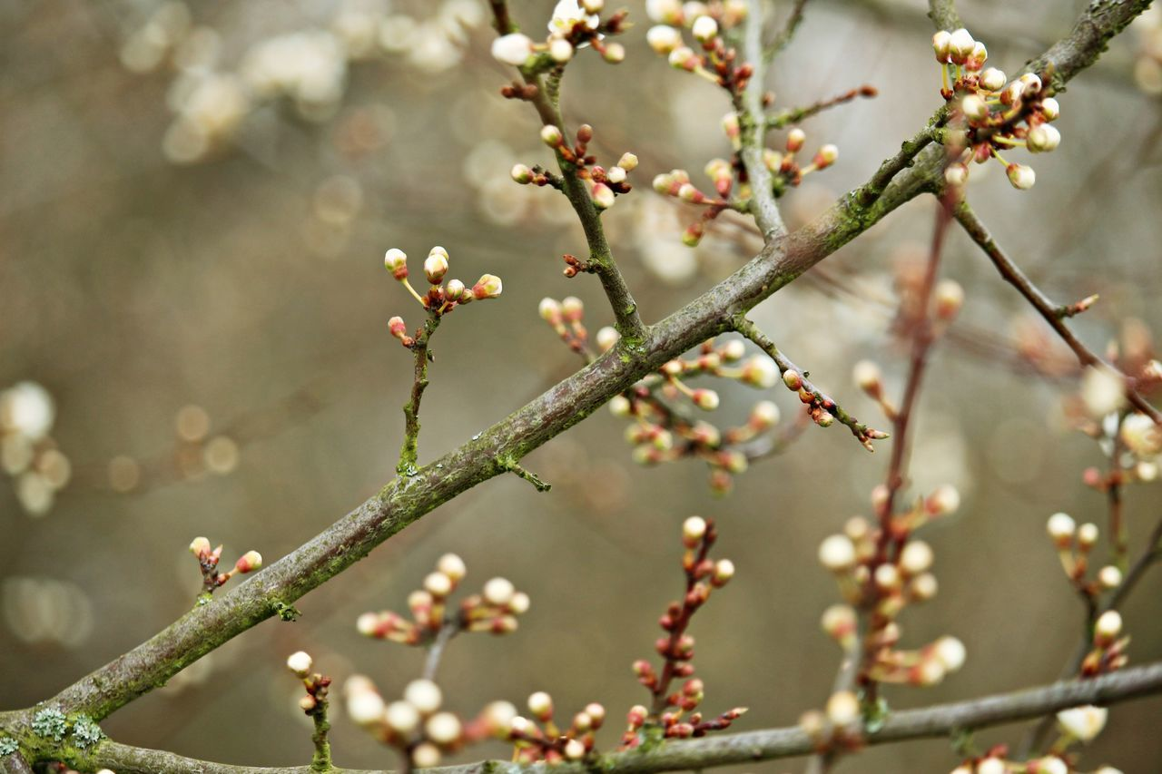 growth, flower, fragility, nature, beauty in nature, branch, tree, springtime, twig, day, freshness, blossom, no people, outdoors, close-up, focus on foreground, plant, flower head