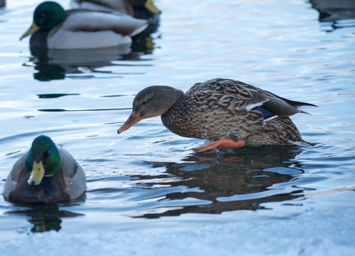 #duck #ducks #lake #park #water #sunnyday #picoftheday #nature #animals #walk #partiallyfrozenlake #reflections#river#water