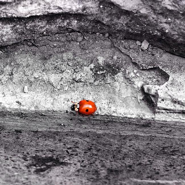 Ladybug Ugurbocegi