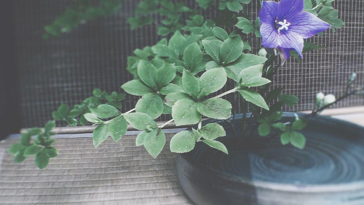 軒先のおもてなし Plant Flower Growth Potted Plant Leaf Fragility Nature Beauty In Nature Freshness Purple Petal No People Day Close-up Outdoors Green Color Flower Head Blooming Omotenashi  Balloon Flower