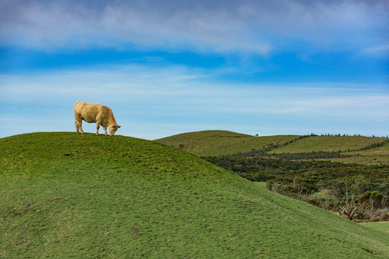 Cow on the hill Animal Themes Beauty In Nature Copy Space Day Domestic Animals Field Grass Grazing Green Color Landscape Livestock Long Exposure Madalena Mammal Nature No People One Animal Outdoors Pico Pico Açores Portugal Scenic Scenics Sky Tranquility