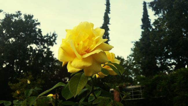 Naturephotography Rose - Flower Yellow Rose Beautiful Nature Flower EyEmNature Nature Lover