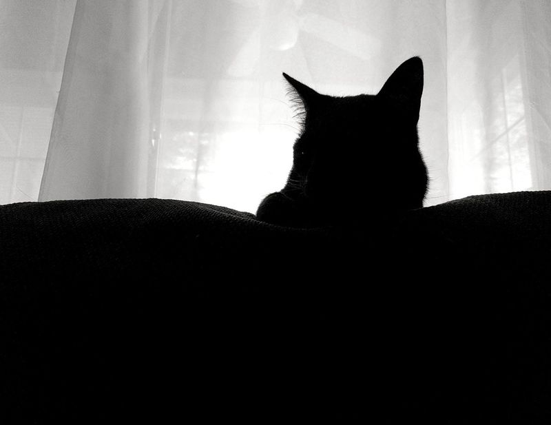 Animal Themes Blackandwhite Close-up Comfortable Curtain Day Domestic Animals Domestic Cat Feline Home Interior Indoors  Mammal No People One Animal Pets Relaxation Silouette Sitting Sofa Window
