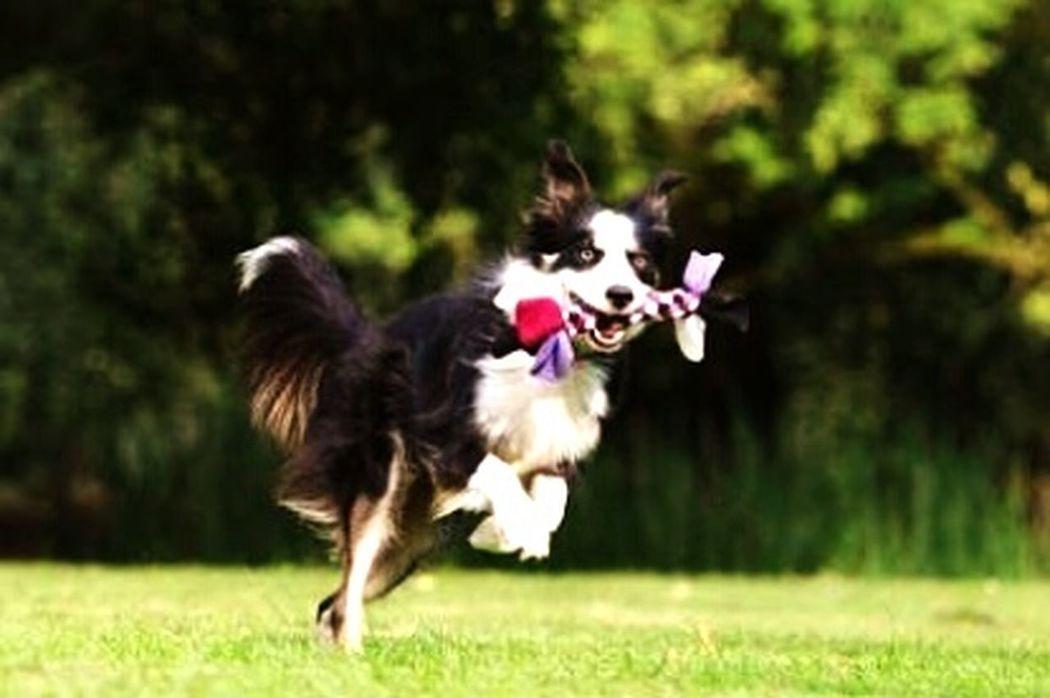 Dog❤ Border Collie Happiness Domestic Animals Animal Smiling :) <3