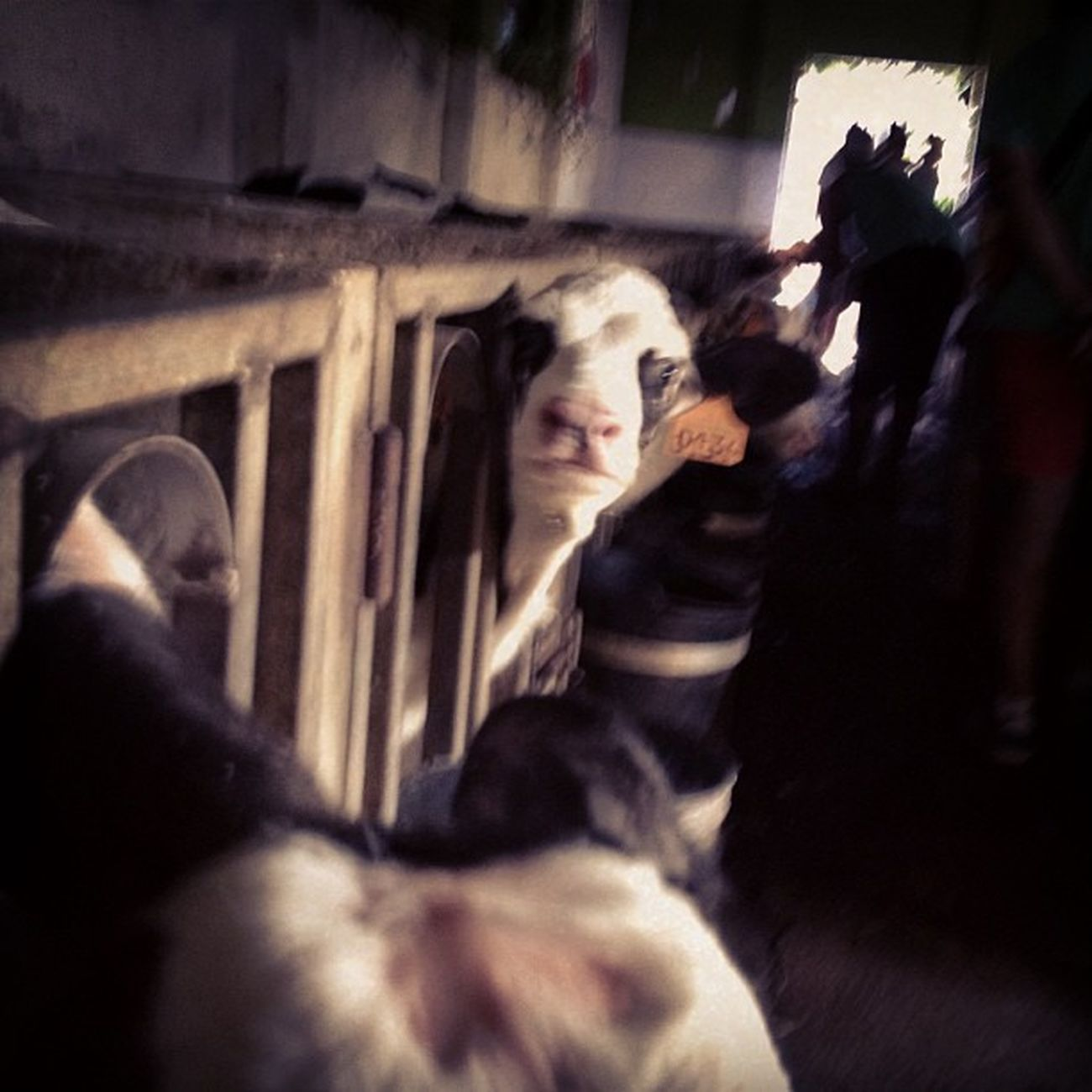 Xanceda Cow