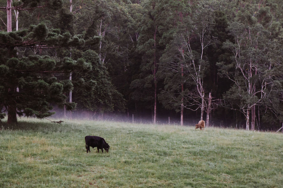 American Bison Animal Themes Beauty In Nature Cow Day Domestic Animals Field Grass Grazing Livestock Mammal Nature No People One Animal Outdoors Tree