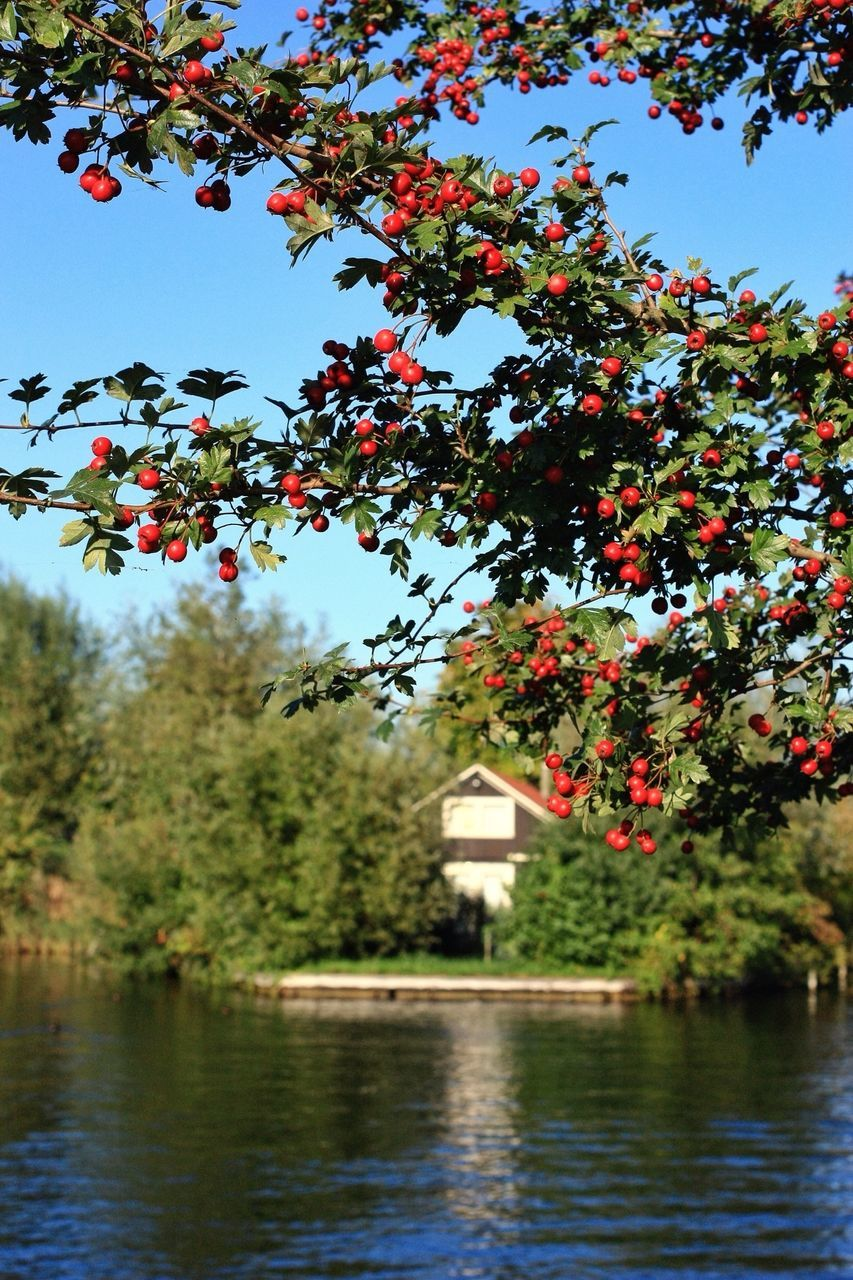 Pomegranate Growing By Lake Against Clear Sky