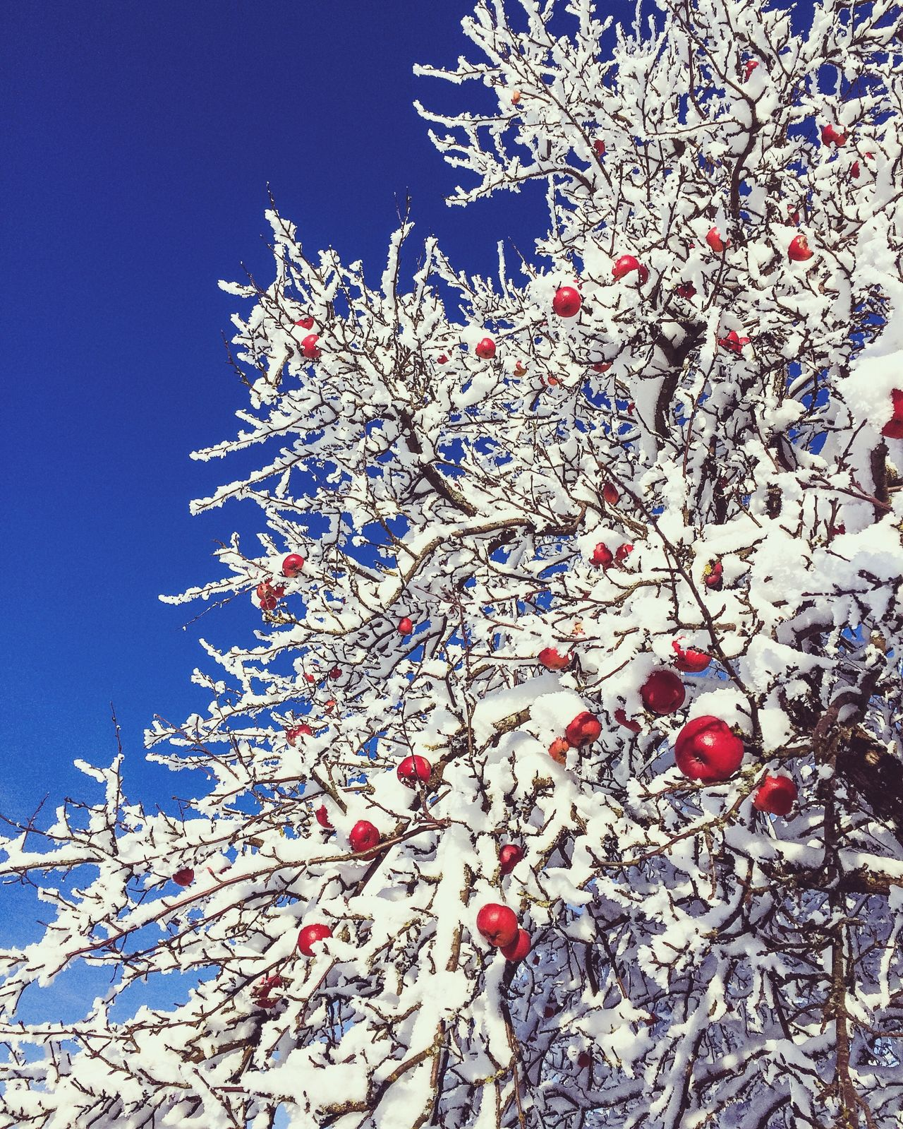 Tree Cold Temperature Winter Snow Nature Growth Branch Low Angle View Beauty In Nature No People Outdoors Day Fragility Close-up Apple Tree Apple
