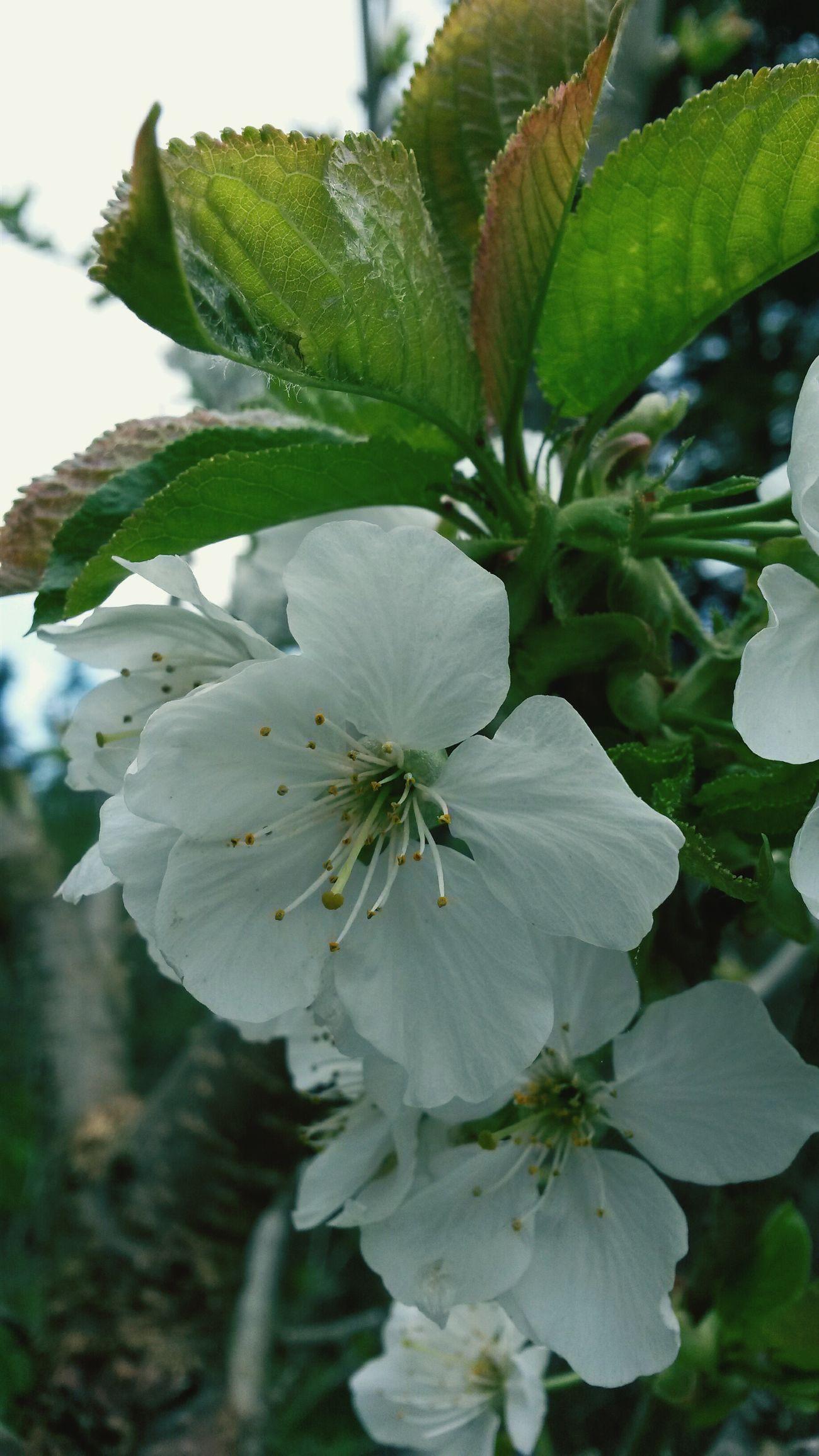 Flowers Tree Garden Fleur de Cerisier