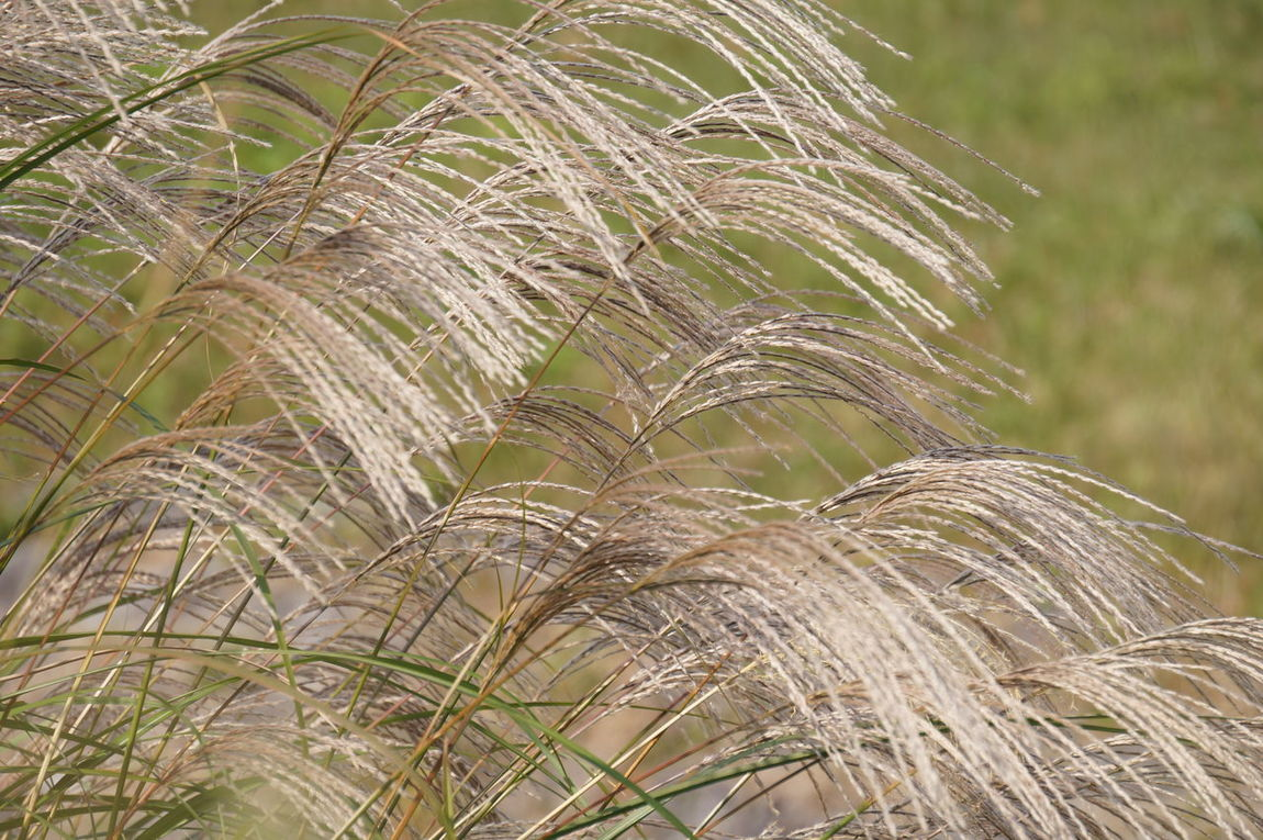 Beauty In Nature Focus On Foreground Growth Japanese Pampas Grass Nature Outdoors