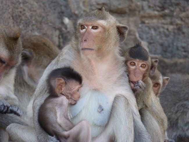 Monkey Monkeys Monkey Face Monkey Temple Lopburi Small Animals Small Animal Small And Cute Affe Affen Baby Monkey Baby Animals Wildlife & Nature Wildlife Photography Animals