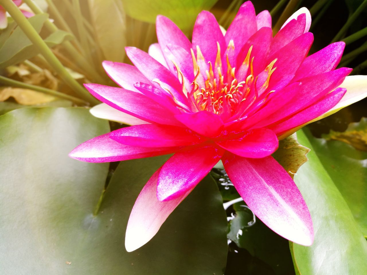 Flower Pink Color Petal Water Nature Beauty In Nature Fragility Flower Head Day Close-up Outdoors No People Freshness Lotus Water Lily Floating On Water Water Lily Green Color Nature Beauty In Nature Blossom