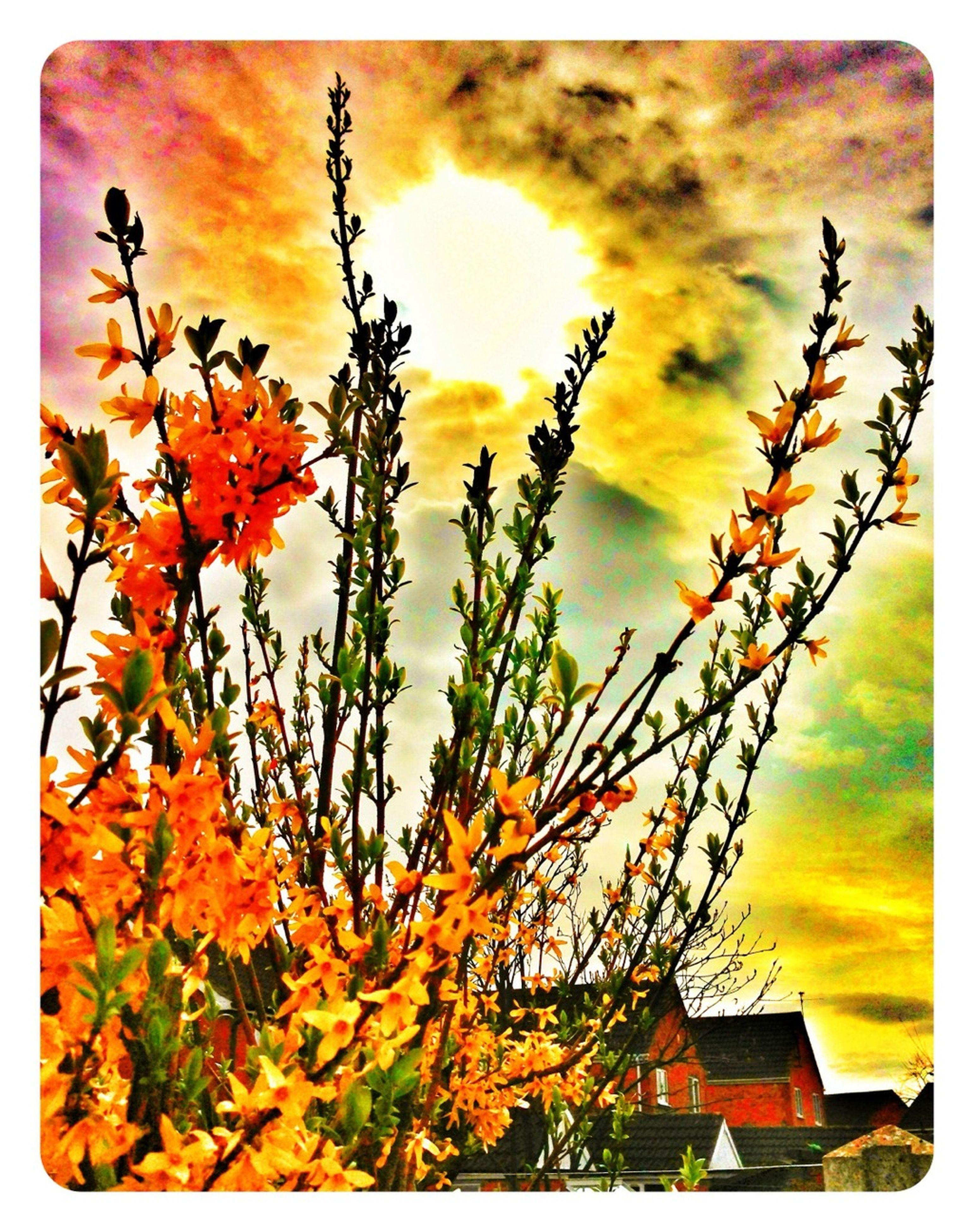 transfer print, sky, orange color, auto post production filter, growth, cloud - sky, beauty in nature, sunset, low angle view, nature, yellow, plant, flower, cloudy, season, outdoors, stem, cloud, tree, tranquility
