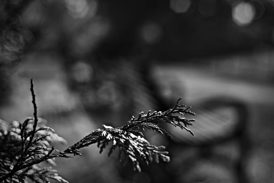 50mm Beauty In Nature Blackandwhite Close-up Day Dof Flower Flower Head Focus On Foreground Fragility Growth Nature Nikon Nikonphotography No People Outdoors Plant Wilted Plant