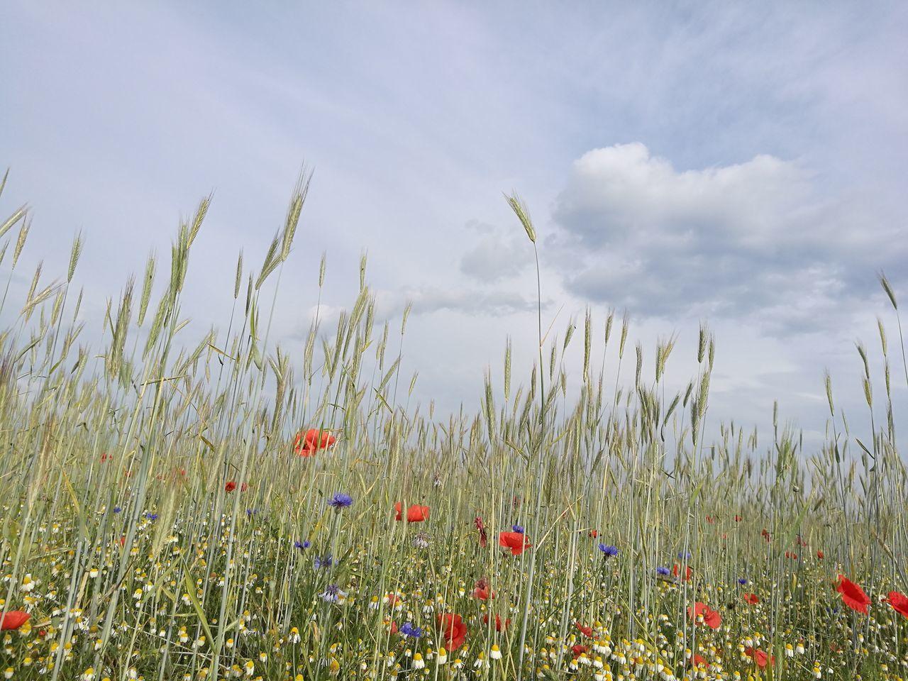 Poppy Flowers Blooming On Field Against Sky