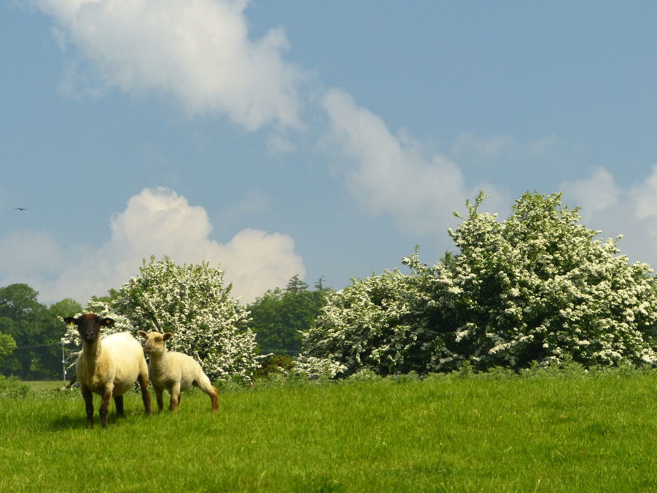 Early summer, Wicklow Animal Themes Cloud - Sky Day Field Grazing Hawthorn Ireland Lamb Livestock No People Outdoors Sheep Tree Wicklow