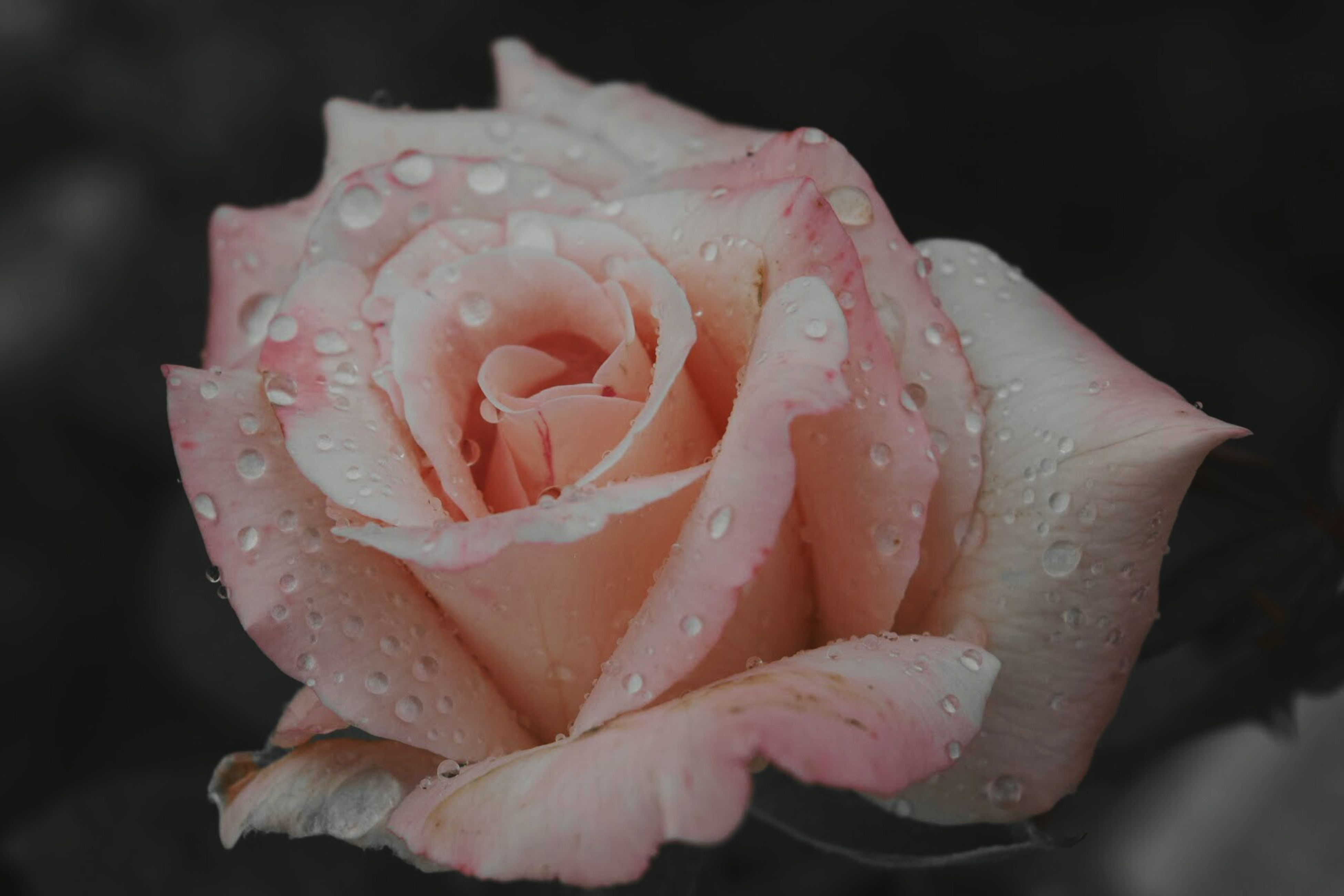 petal, flower, drop, freshness, fragility, flower head, close-up, wet, water, beauty in nature, growth, single flower, rose - flower, dew, nature, focus on foreground, blooming, plant, season, raindrop