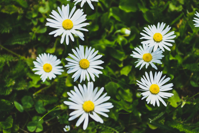 Beauty In Nature Blooming Blossom Botany Close-up Daisy Flower Flower Head Focus On Foreground Fragility Freshness Growing Growth Nature No People Outdoors Petal Plant TheWeekOnEyeEM White Color