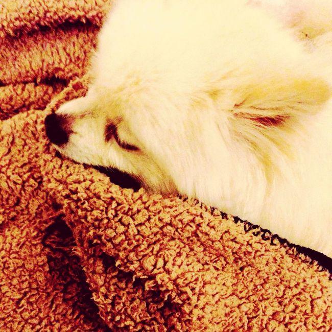 I Love My Dog Dog Sleeping Korosuke