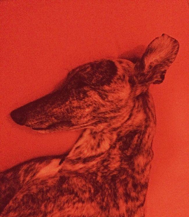 menace Dog Greyhound Portrait