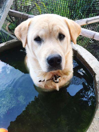 Dog Labrador Cute Pets Love ♥