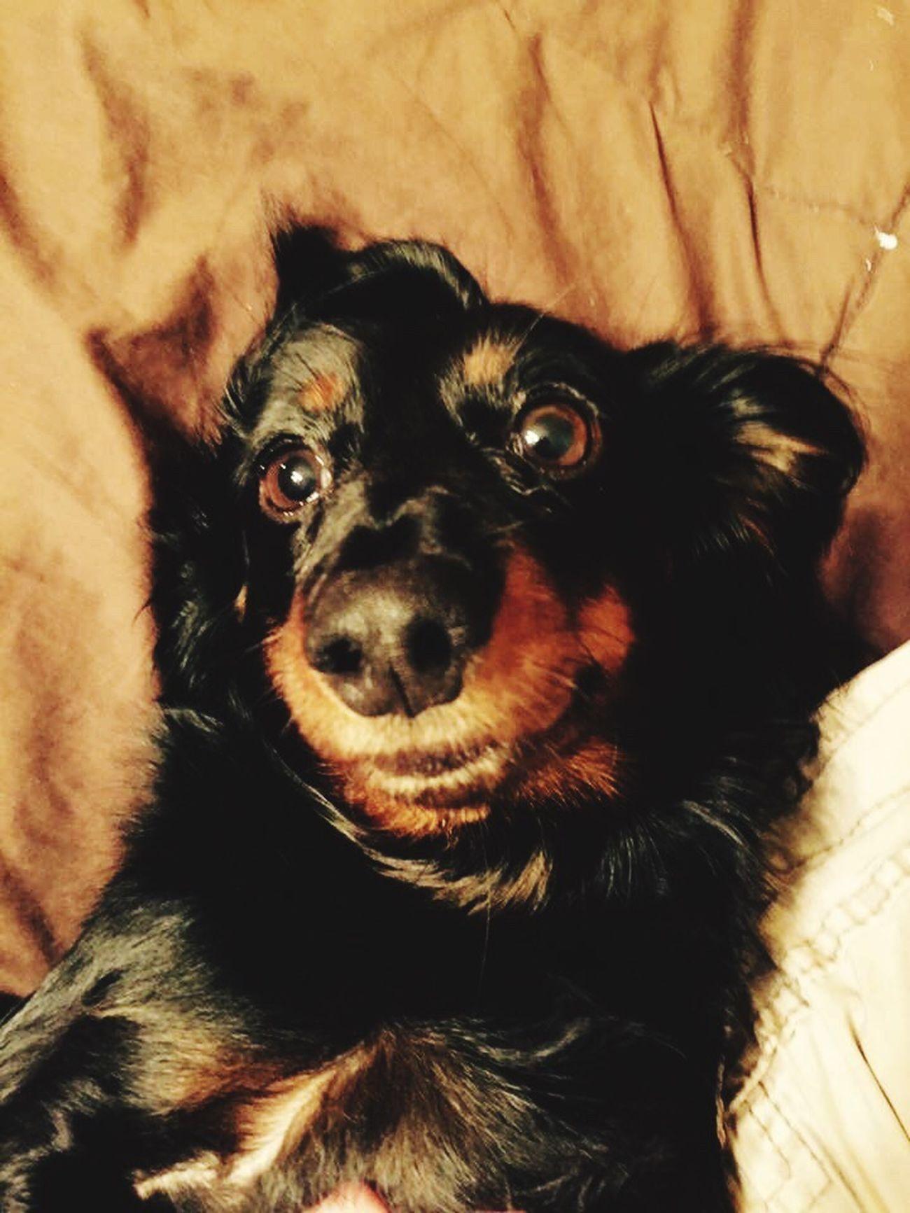 Weiner-Dog HotDog Pets Close-up Pampered Pets Loyalty