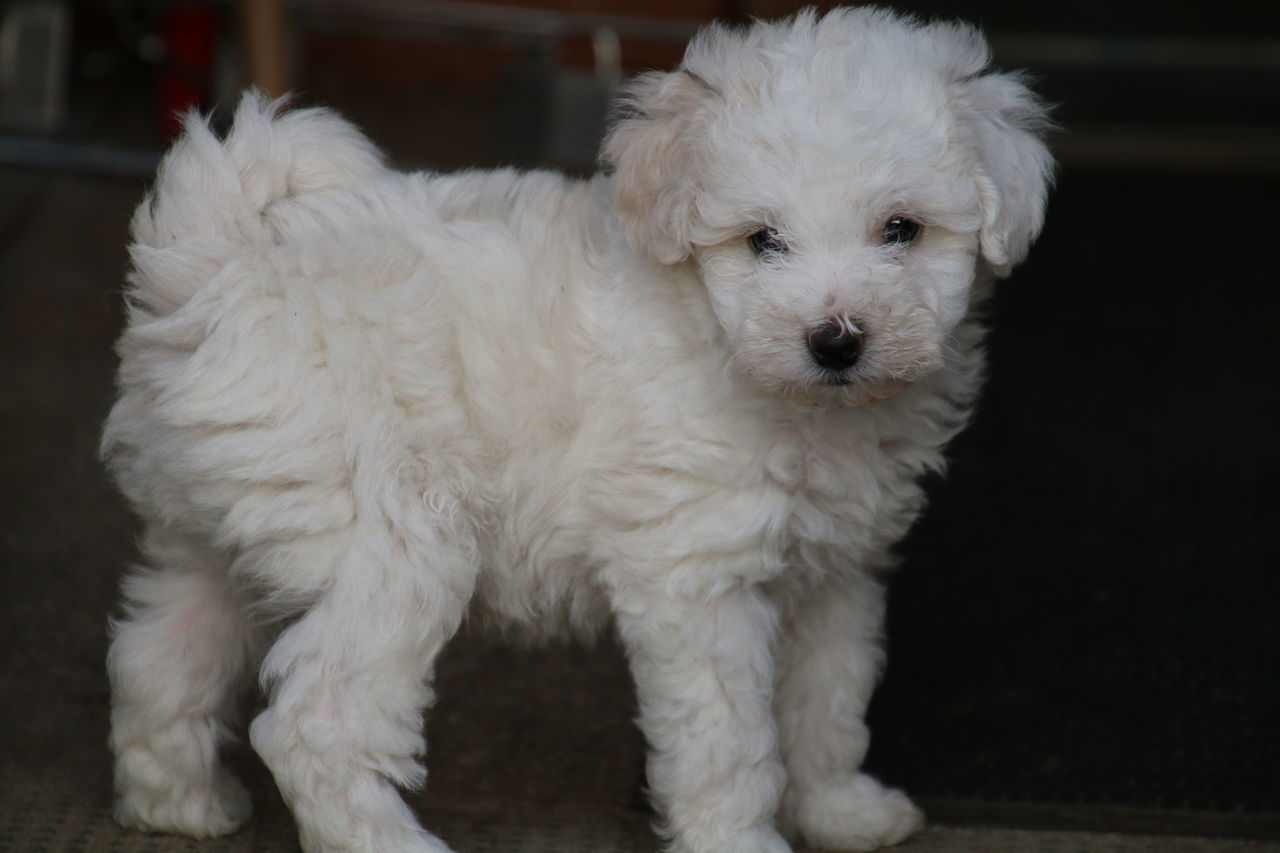 Animal Hair Animal Head  Animal Themes Bichon Frise Bichonfrise Dog Domestic Animals Mammal No People One Animal Pets Puppy Puppy Love