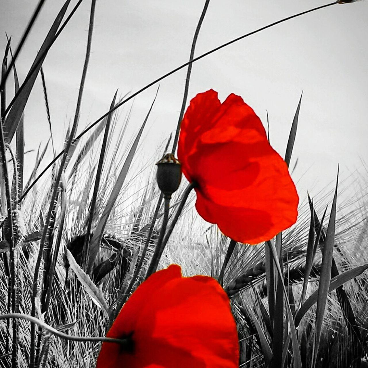 red, flower, poppy, petal, nature, plant, growth, beauty in nature, isolated color, no people, outdoors, flower head, tulip, fragility, blooming, day, grass, close-up, sky, freshness
