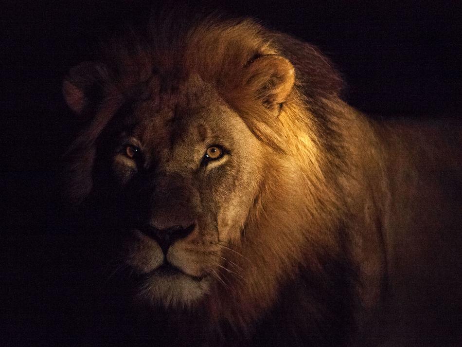 Beautiful stock photos of löwe, Animal Hair, Animal Head, Animal Themes, Animal Wildlife
