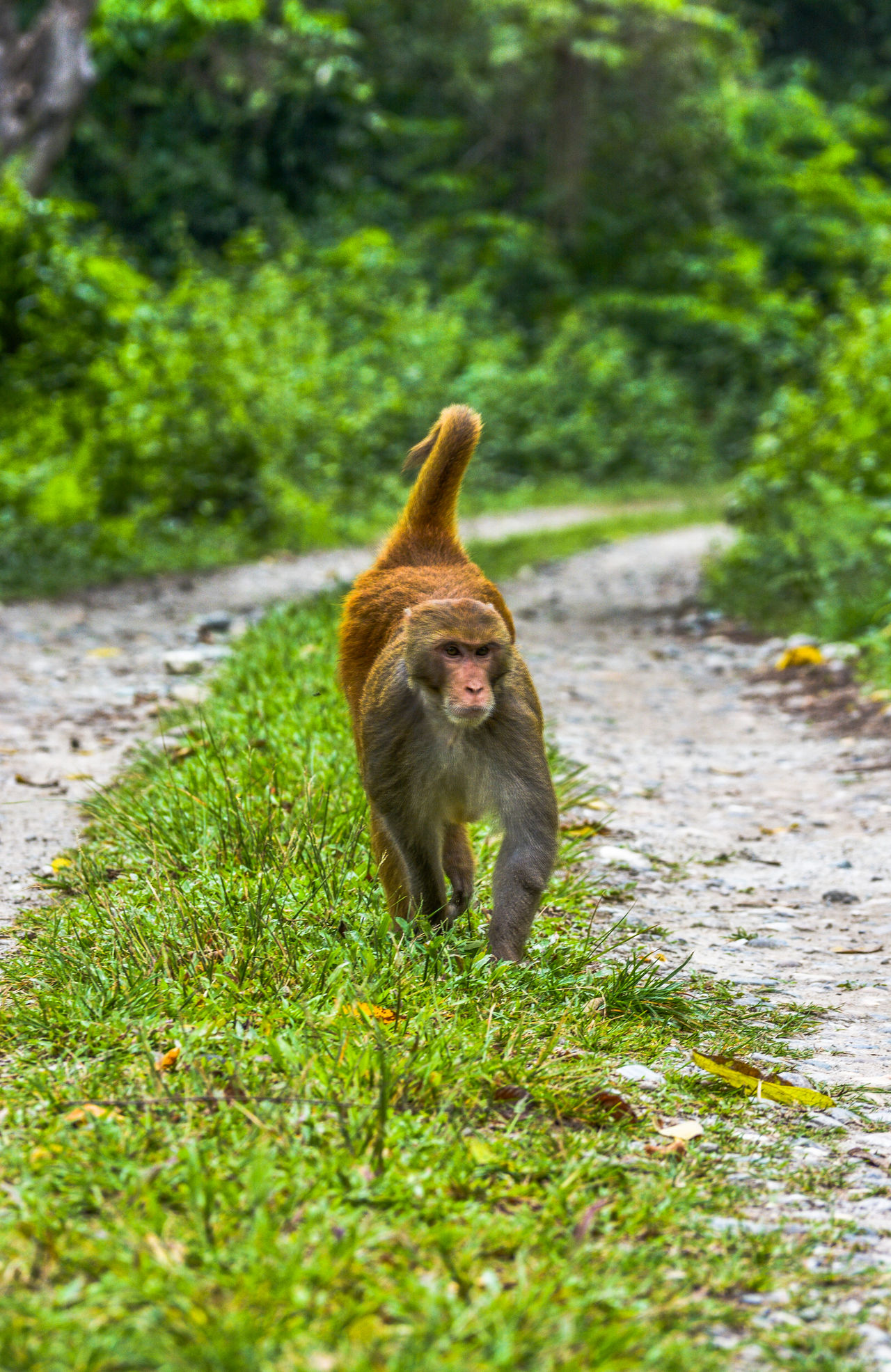 Alpha Male Animal Themes Animal Wildlife Animals In The Wild Close-up Day Fox Grass Green Color Macaque Monkey Mammal Nature No People One Animal Orang National Park Outdoors Plant