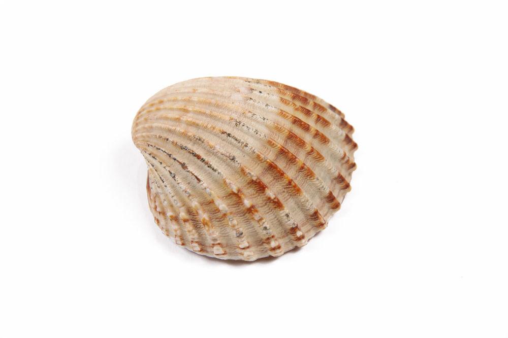 Fossil Geometric Shape Mollusc Sea Life Sentinel Shell Single Object Still Life Studio Shot White Background