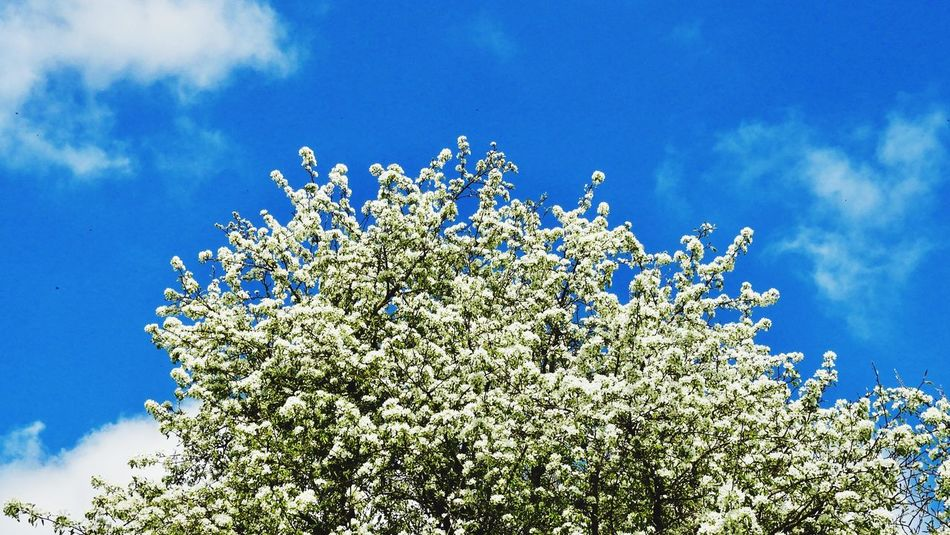 Tree Growth Sky Flower Nature Beauty In Nature Low Angle View Blossom Blue Fragility Springtime Freshness Branch Apple Tree No People Day Outdoors Cloud - Sky Close-up Taking Photos Eyeemphotography Outdoor Photography Nature Photography EyeEm Nature Lover Tree